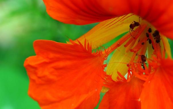 Фото обои цветок, лепестки, муравей, насекомое