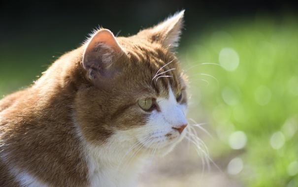 Фото обои кошка, кот, взгляд, кошак