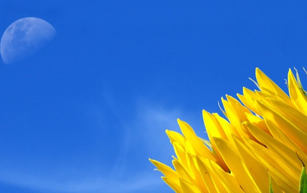 Фото обои природа, подсолнух, утро, лепестки, солнечно