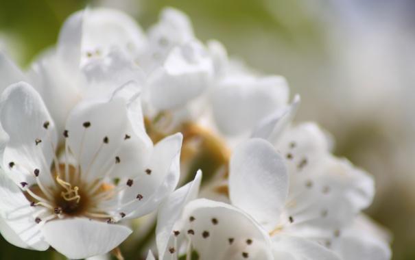 Фото обои макро, цветы, нежность, цвет, весна, лепестки, размытость