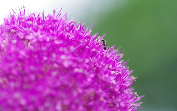 Фото обои цветок, макро, природа, муравей