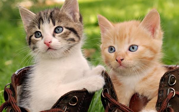 Фото обои ботинки, котята, шнурки