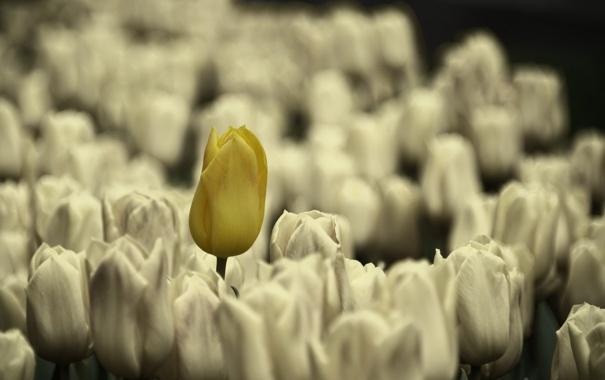 Фото обои природа, тюльпаны, цветы