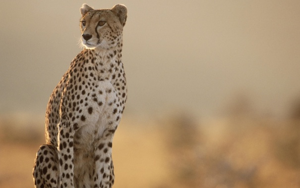 Фото обои даль, Гепард, Cheetah, разглядывает