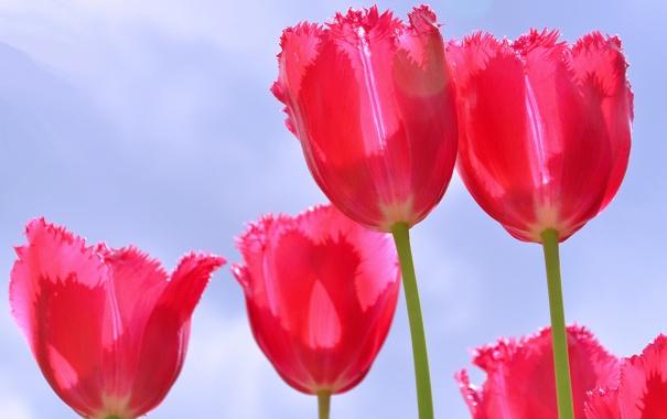 Фото обои небо, лепестки, стебель, тюльпаны