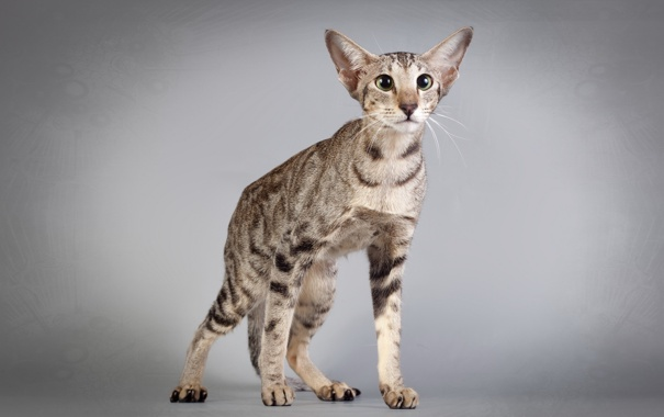 Фото обои взгляд, фон, Ориентальная кошка