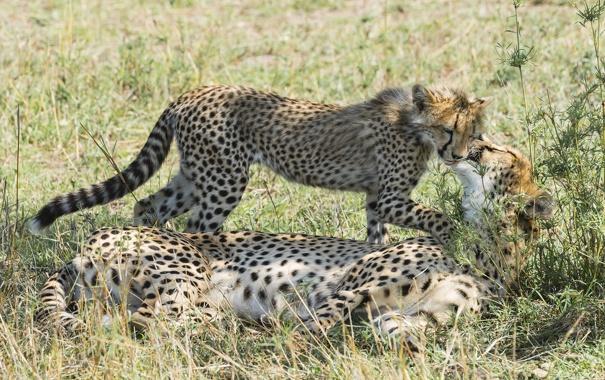 Фото обои семья, гепард, ласка, котёнок, мать