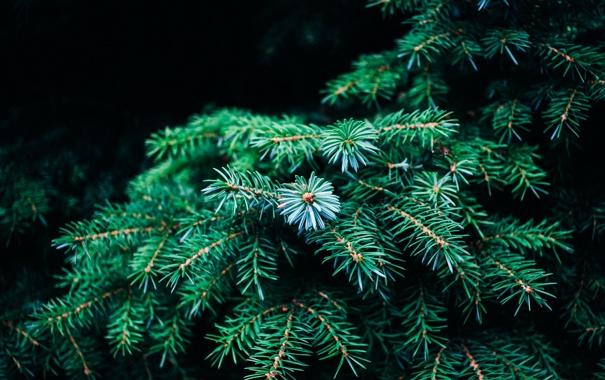 Фото обои иголки, ветки, дерево, елка, зеленая