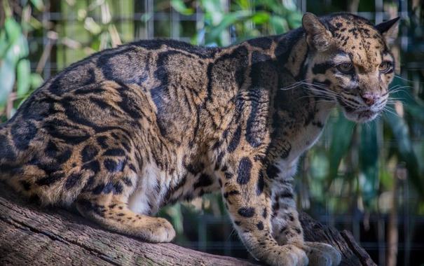 Фото обои свет, хищник, пятна, дикая кошка, дымчатый леопард