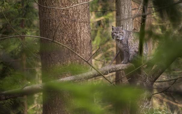 Фото обои лес, деревья, природа, хищник, рысь