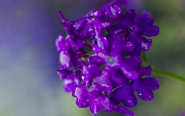 Фото обои фиолетовый, цветок, растение, капли, лепестки, вода, макро