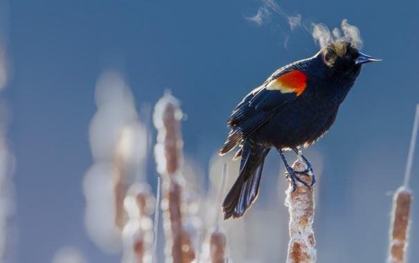 Фото обои зима, птица, холод, краснокрылый черный дрозд, камыш