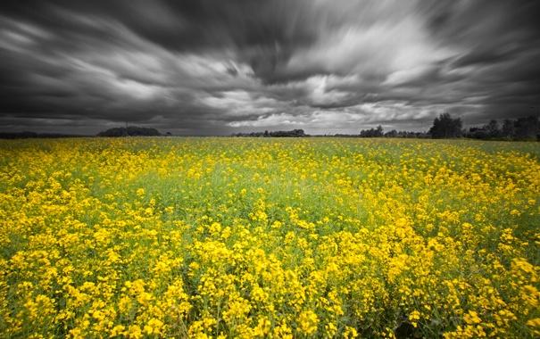 Фото обои поле, небо, рапс, серые тучки