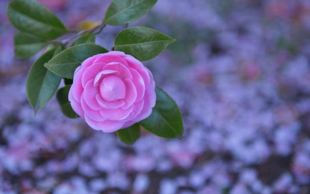 Фото обои листья, фон, розовая, камелия