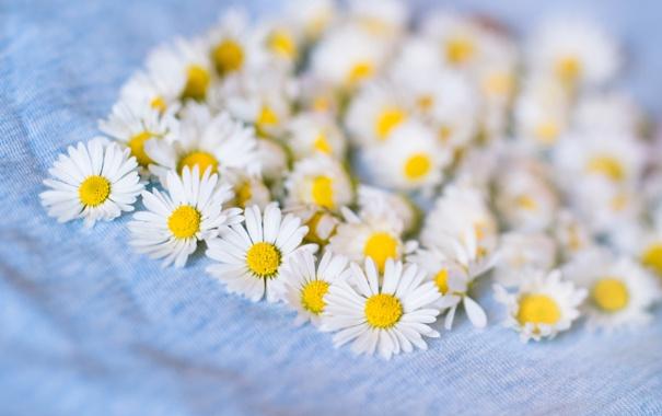 Фото обои цветы, ромашки, лепестки, белые, много