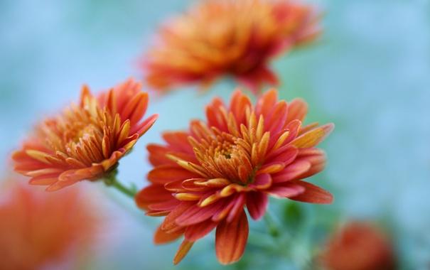 обои на рабочий стол осень цветы хризантемы 6140
