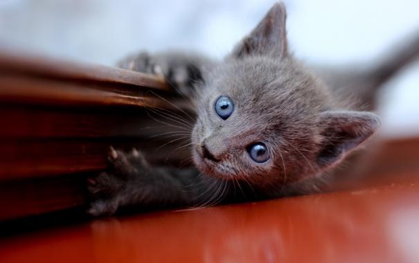 Фото обои котенок, серый, голубоглазый