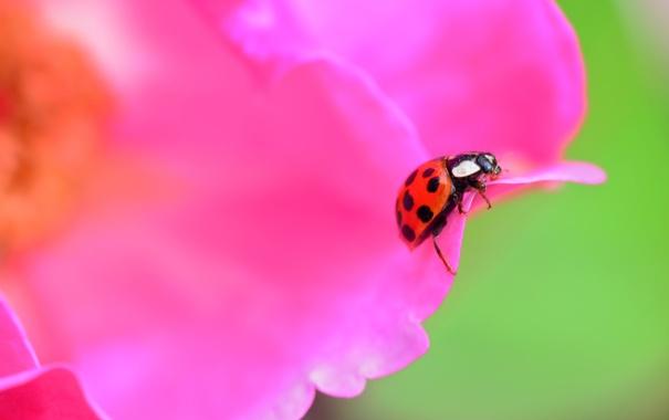 Фото обои цветок, божья коровка, жук, лепестки, насекомое