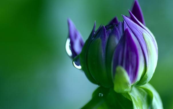 Фото обои цветок, макро, зеленый, цвет, капля, бутон