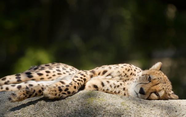 Фото обои кошка, отдых, камень, гепард