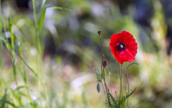 Фото обои трава, красный, фон, мак, бутоны