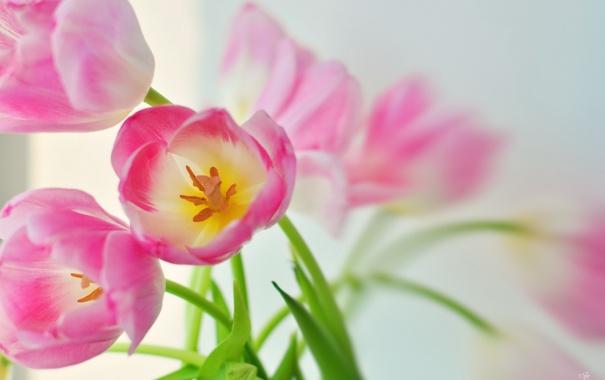 Фото обои макро, природа, тюльпаны
