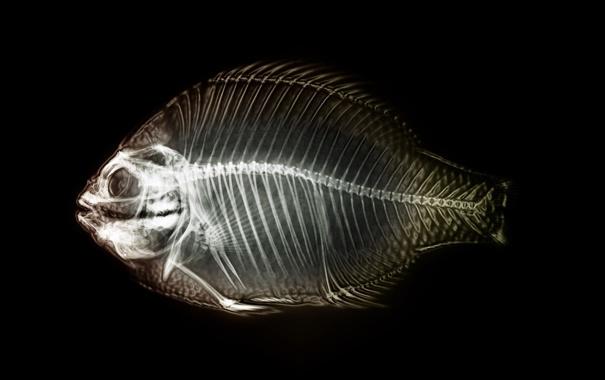 Фото обои рыба, скелет, рентген