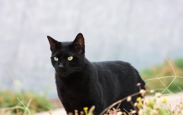 Фото обои кошка, кот, черная