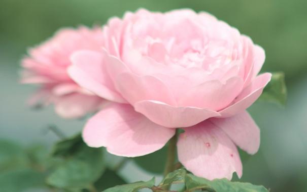 Фото обои цветок, листья, макро, розовая, нежность, роза, лепестки