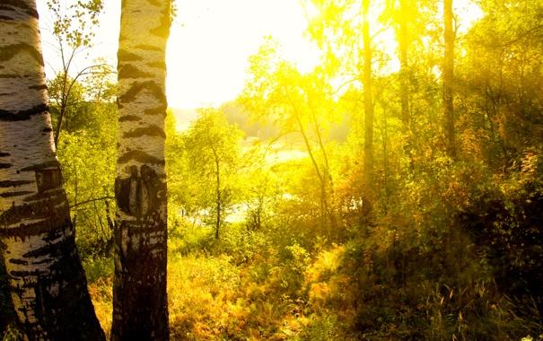 Фото обои лес, лето, солнце, лучи, свет, две, вечер