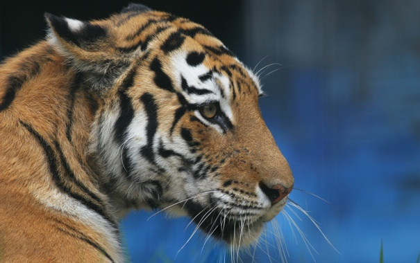 Фото обои кошка, взгляд, морда, тигр, животное, хищник