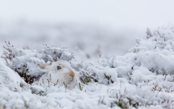 Фото обои зима, природа, заяц