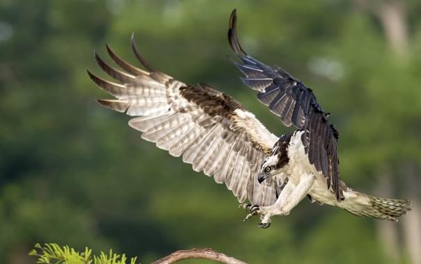 Фото обои природа, птица, скопа