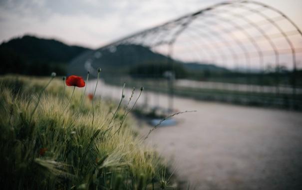 Фото обои цветок, мост, растение, мак, лепестки, красные, пода