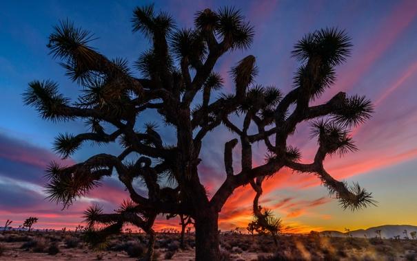 Фото обои облака, горы, дерево, Калифорния, зарево, США, Joshua Trees National Park
