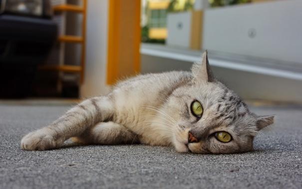 Фото обои кот, лапы, глаза, зеленые, морда, серый, лежит