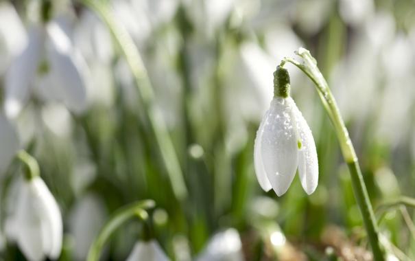 Фото обои белый, цветок, капли, природа, роса, весна, лепестки