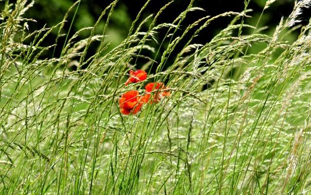 Фото обои поле, трава, цветы, природа, фото, маки