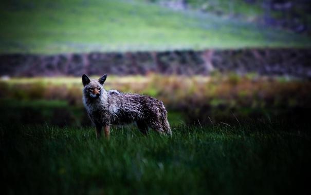 Фото обои животные, трава, природа, звери, фото, хищники, зверь