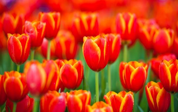 Фото обои цветы, природа, весна, лепестки, тюльпаны, красные, бутоны