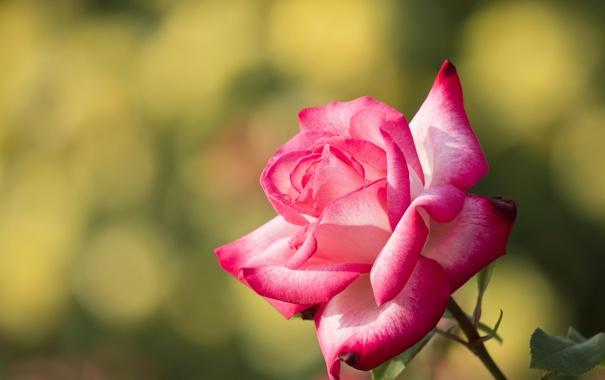 Фото обои роза, лепестки, макро, бутон