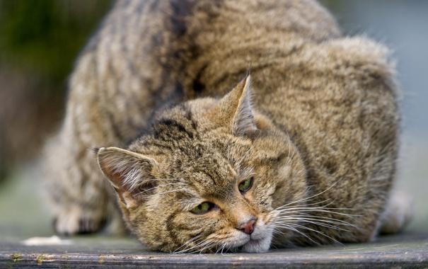 Фото обои кошка, морда, лесной, дикий кот, ©Tambako The Jaguar