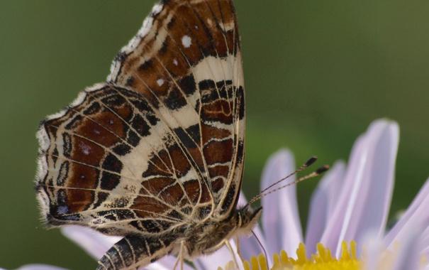 Фото обои цветок, бабочка, крылья, лепестки, насекомое, мотылек