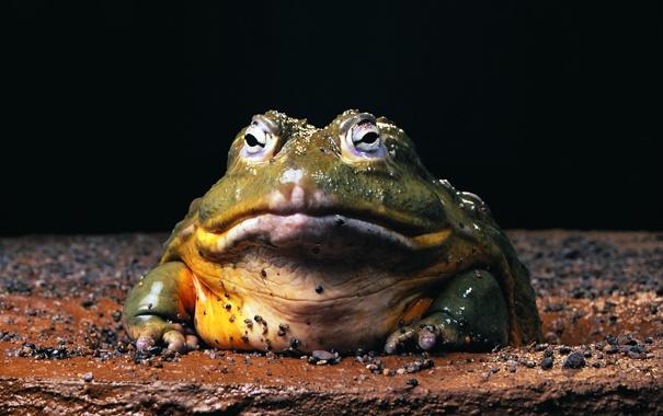 Фото обои лягушка, жаба, холоднокровное, змноводное