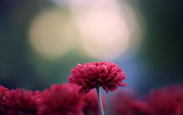 Фото обои цветы, фокус, хризантемы, темно-розовые