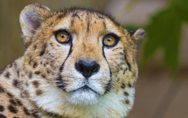 Фото обои морда, хищник, гепард