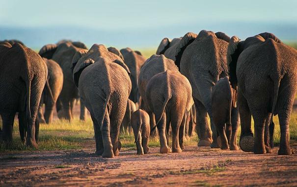 Фото обои животные, пыль, вечер, африка, слоны, дикая природа