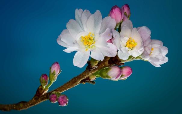 Фото обои cherry, petals, blossoms, buds, stamens