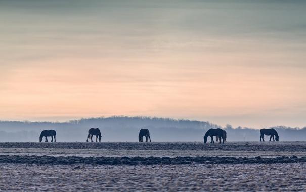 Фото обои поле, закат, кони