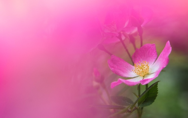 Фото обои цветок, макро, розовый, роза, шиповник